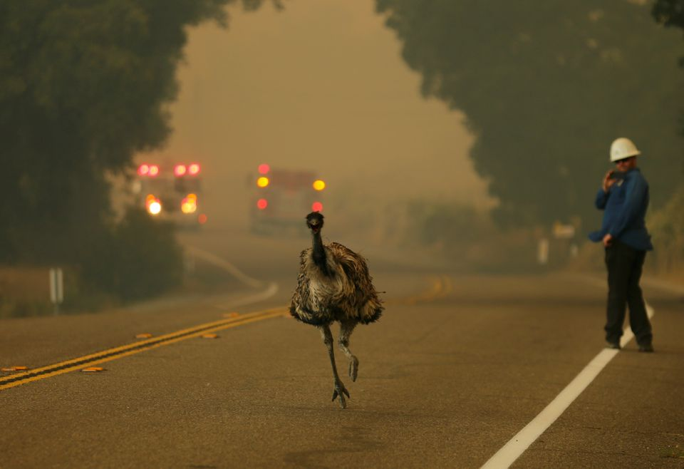 An emu runs to escape an approaching wildfire as it burns near Potrero, California, U.S. June 20, 2016.
