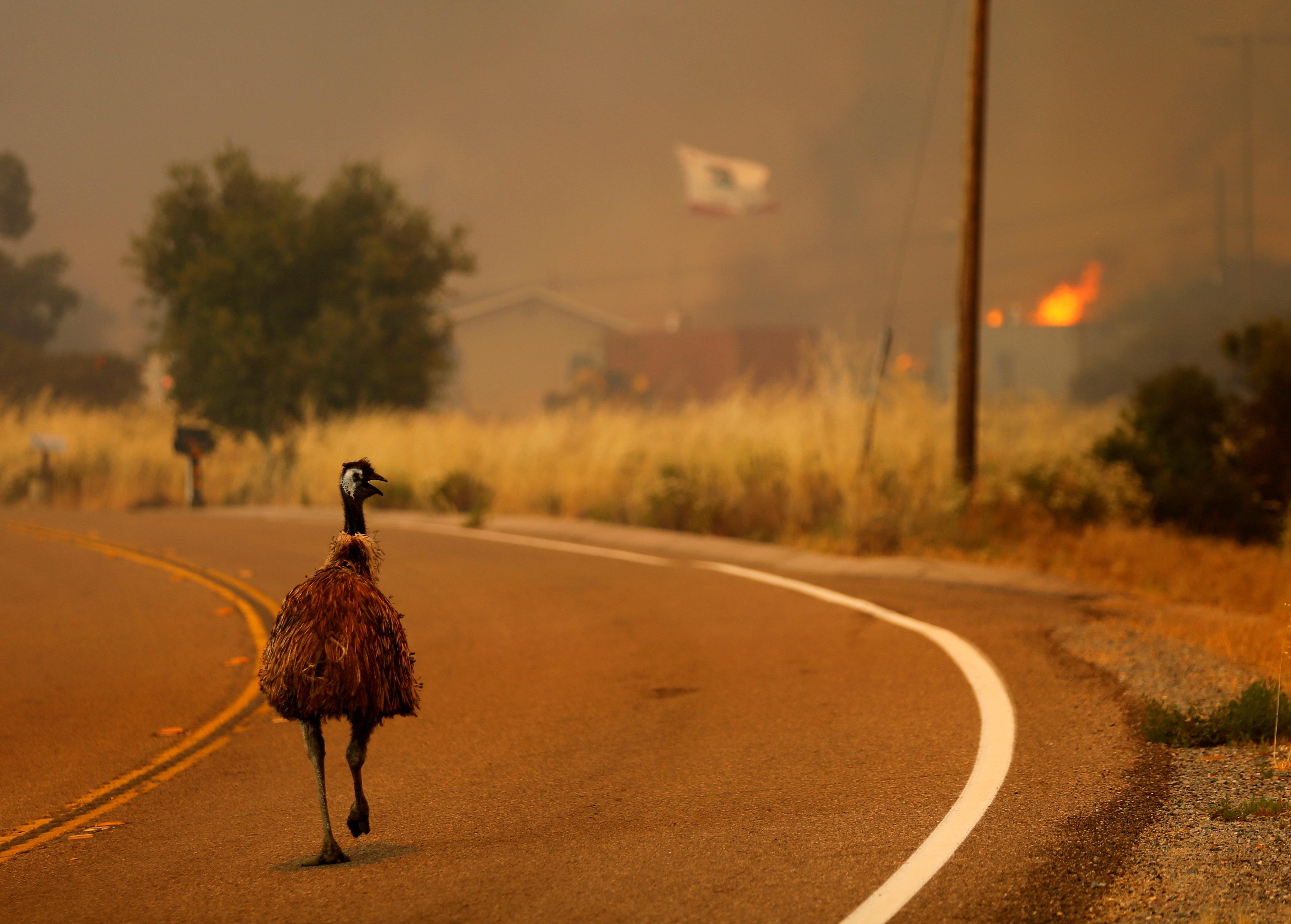 An emu runs to escape an approaching wildfire as it burns near Potrero, California, U.S. June 20, 2016.        REUTERS/Mike Blake