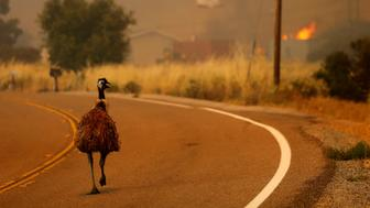 An emu runs to escape an approaching wildfire as it burns near Potrero, California, U.S. June 20, 2016.        REUTERS/Mike Blake