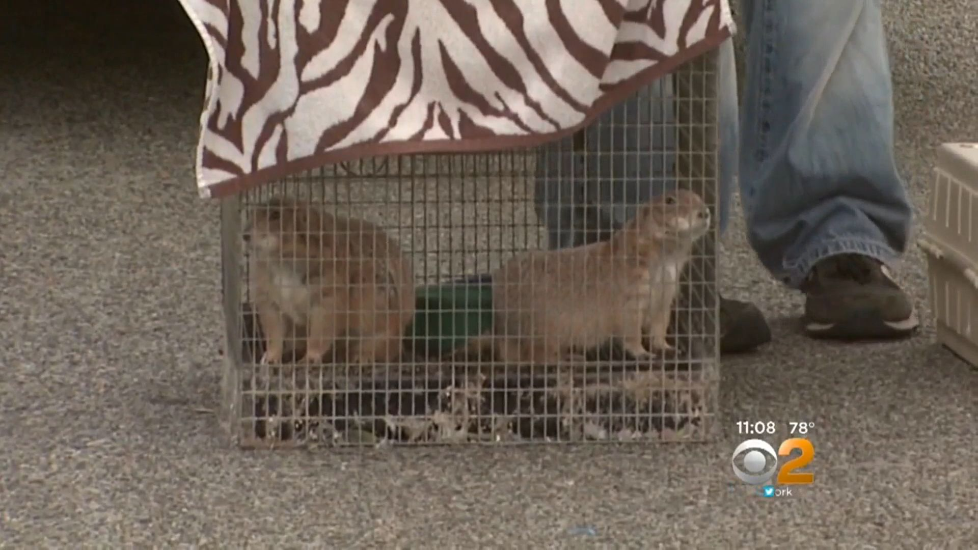 These two prairie dogs were among the animals recovered from the Long Island home on Tuesday.