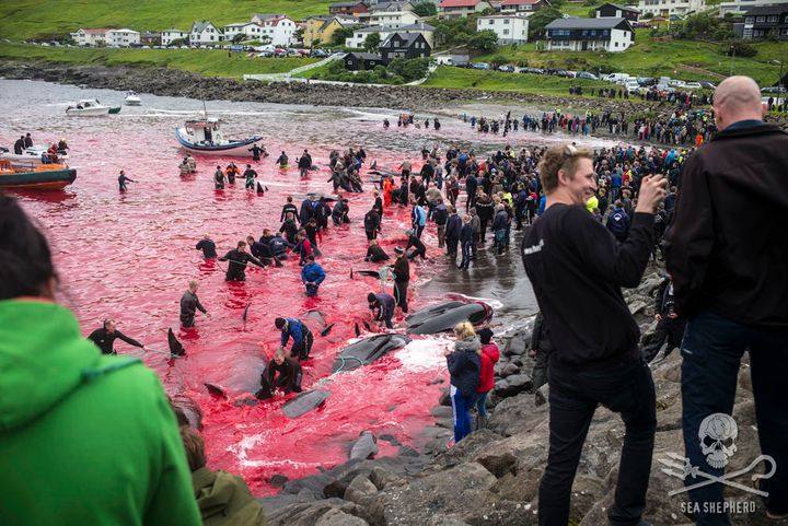 On August 12, 2015, 61 pilot whales were slaughtered at the Sandavágur killing beach in the Danish Faroe Isles. F