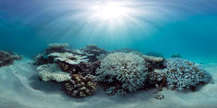 A panorama of coral bleaching in the Maldives in May of 2016.