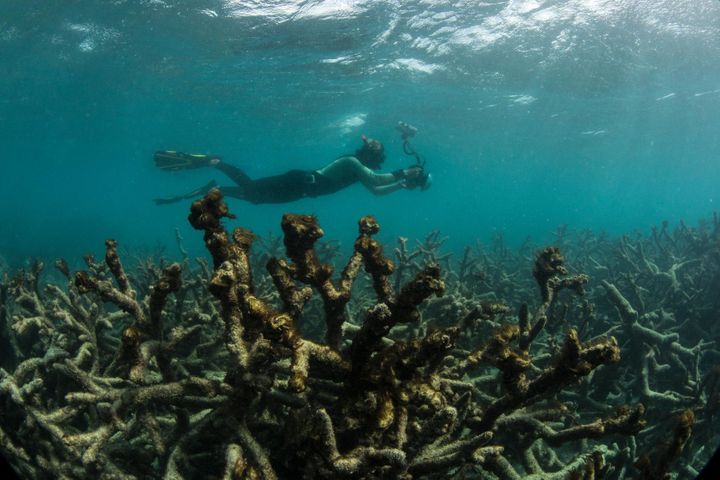 A snorkeler swims over a dead coral reef in May after a bleaching event.