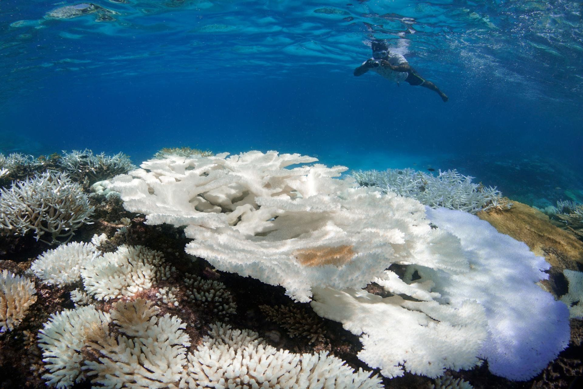 Snorkeler surveying coral bleaching in the Maldives inMay.