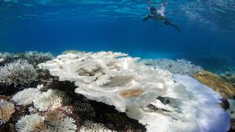 Snorkeler surveying coral bleaching in the Maldives in May 2016.