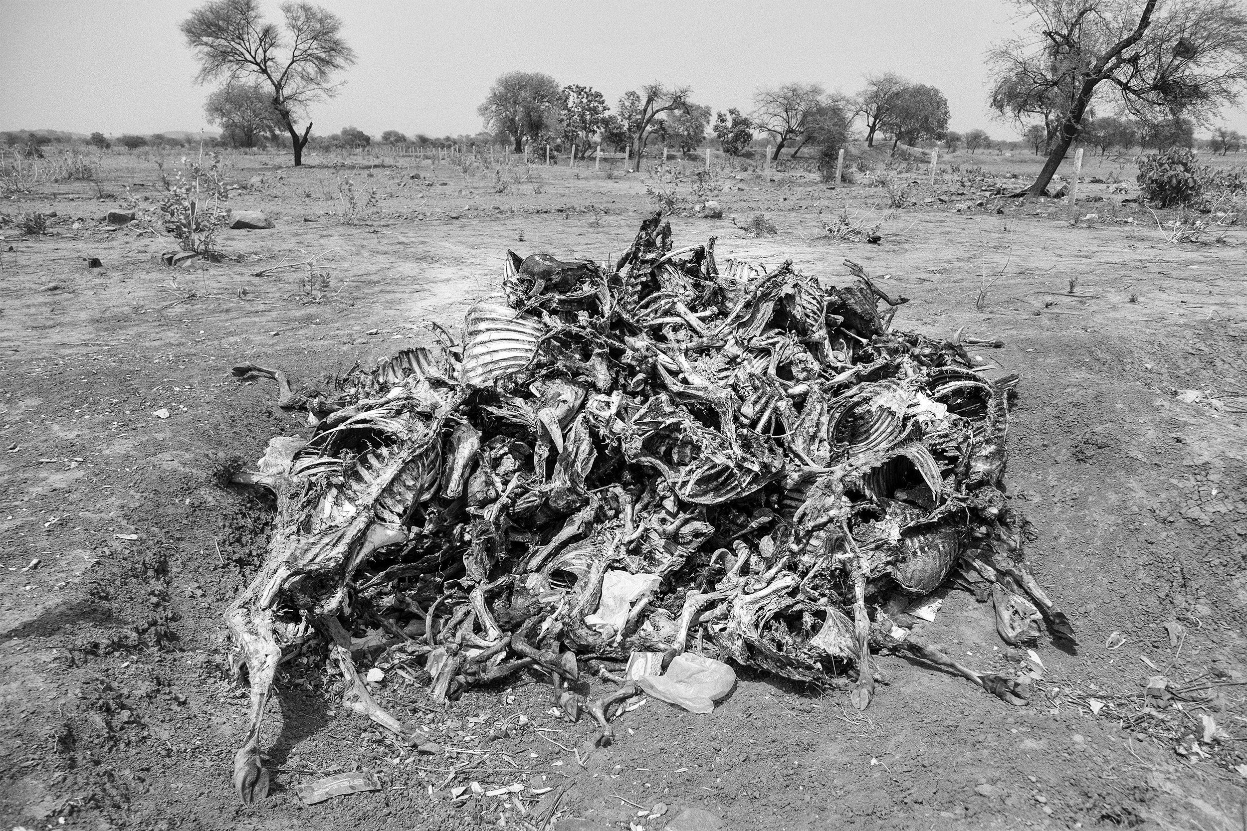 Piles of livestock carcasses are a common sight across the parched landscape in Bundelkhand.