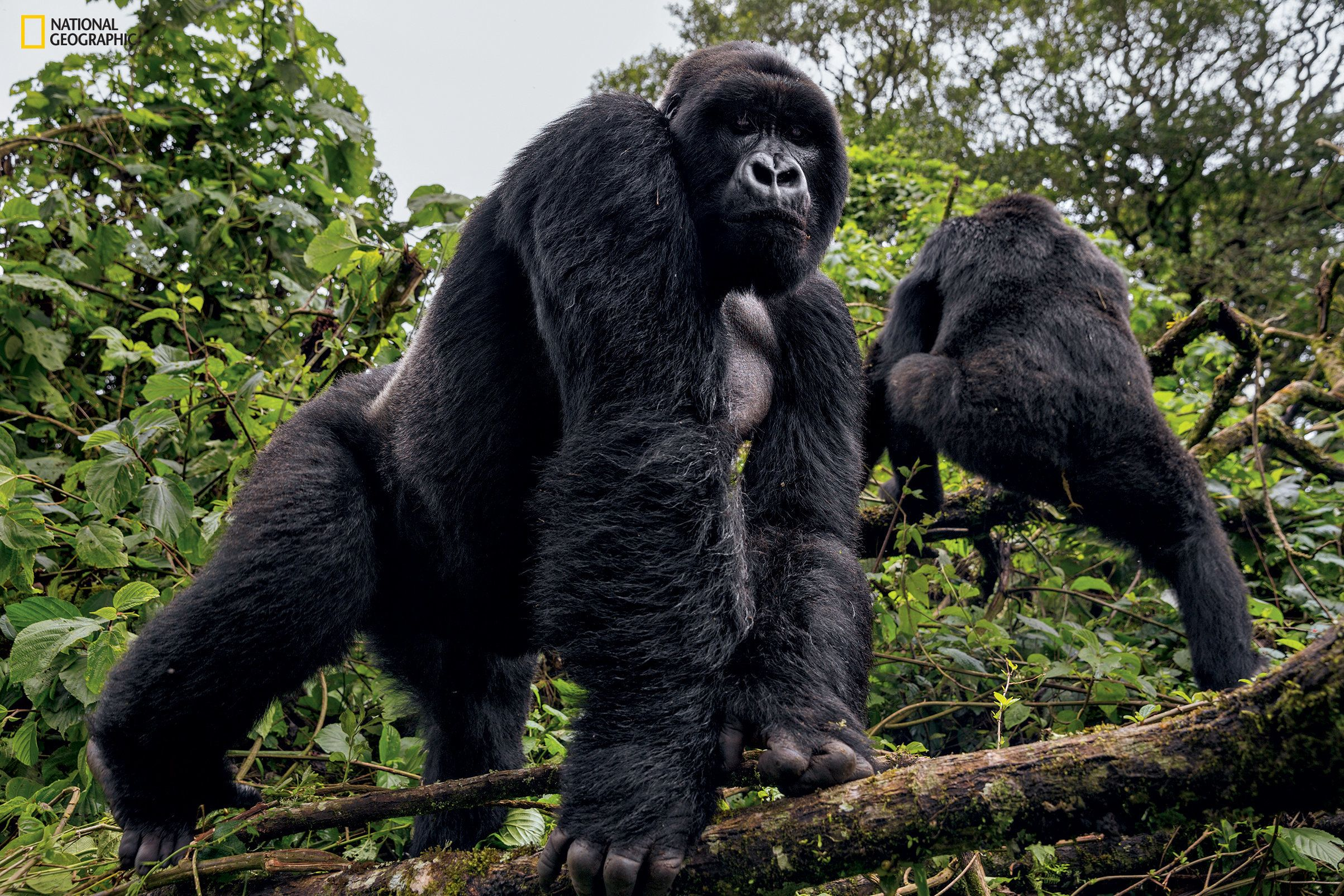 A silverback from the 22-member Mapuwa family emerges from the jungle to keep an eye on a ranger patrol....