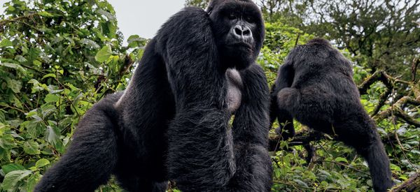 African Park Rangers Face Deadly Struggle To Save Mountain Gorillas