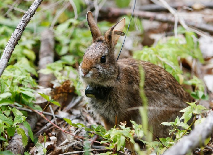 One of two young New England Cottontail rabbits that were released into private farmland in Dover, New Hampshire.