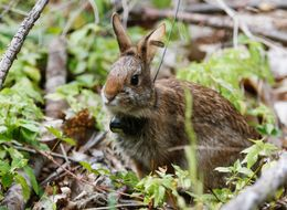 This Rabbit May Be Conservation's Newest, Cutest Success Story