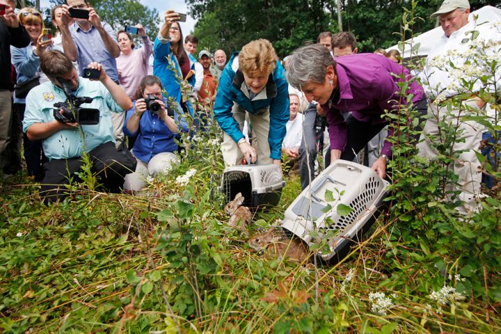 Sen. Jeanne Shaheen, center, and Secretary of the Interior Sally Jewell help release two New England Cottontail rabbits into