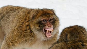 Barbary Macaque (Macaca sylvanus) threatening behaviour, Atlas Mountains, Morocco