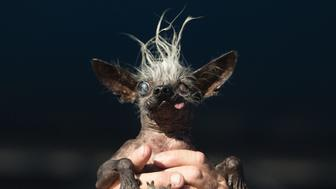 Sweepie Rambo, a chinese crested, is held up by owner Jason Wurtz during the World's Ugliest Dog Competition in Petaluma, California on June 24, 2016.  Sweepie Rambo went on to take first prize winning 1,500 USD.  / AFP / JOSH EDELSON        (Photo credit should read JOSH EDELSON/AFP/Getty Images)