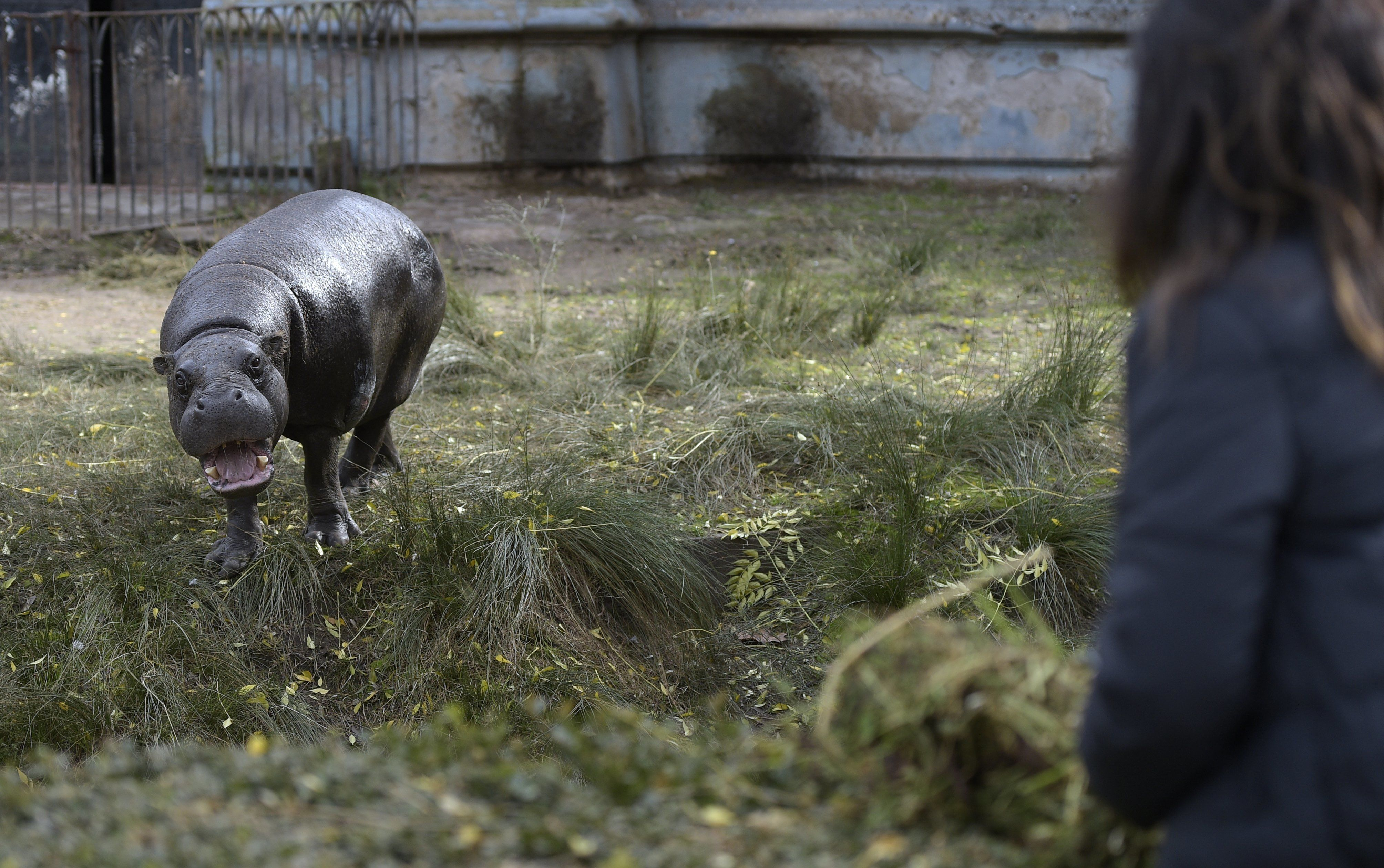 A hyppo is seen at Buenos Aires Zoo on June 24, 2016.  The zoo will temporary close to become an ecological park. / AFP / JUAN MABROMATA        (Photo credit should read JUAN MABROMATA/AFP/Getty Images)