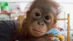 Hunters Shot This Baby Orangutan, Then Left Him For
