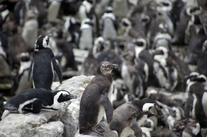 A colony of African penguins is pictured at the Penguin Reserve at Stony point in Betty's Bay near Kleinmond, southwest of Ca