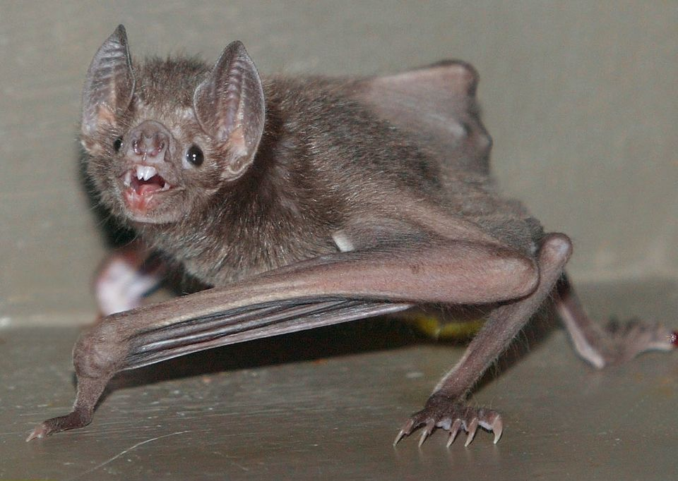 A vampire bat in the nocturnal house in the Berlin Zoo.