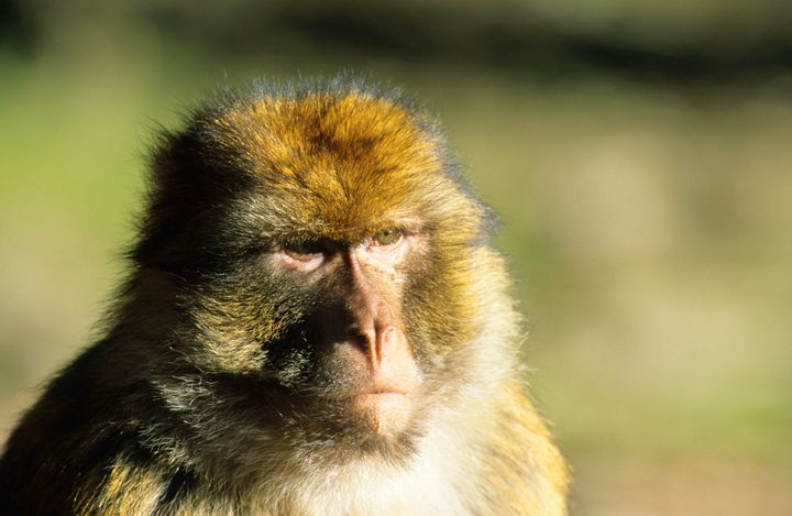A Barbary macaque monkey.