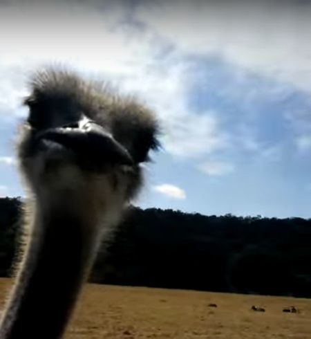 The moment before the ostrich decided he'd had enough.