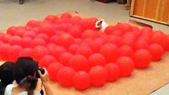 Twinkie the dog sets a record for popping balloons.