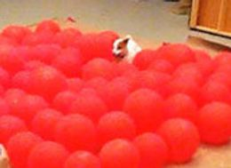 Happiest Dog In The World Pops 100 Balloons And Breaks A Record