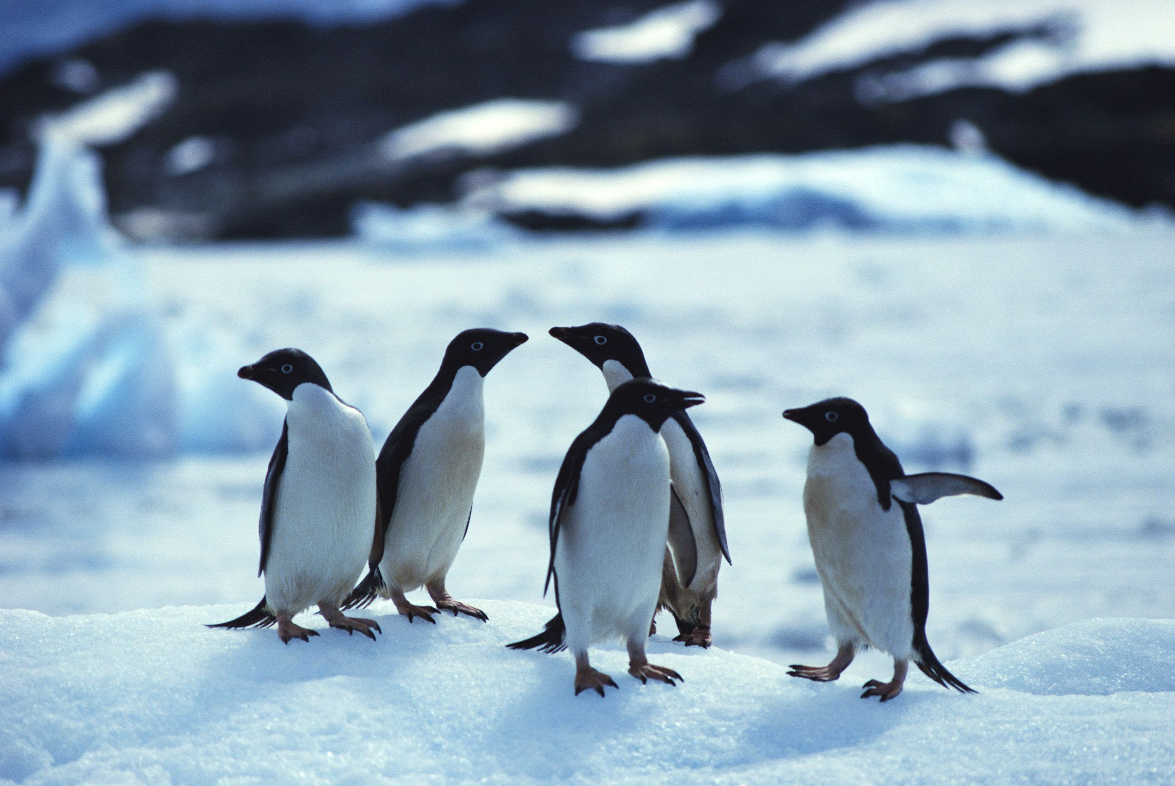 Penguin Populations Could Decrease Up To 60% Before The Year