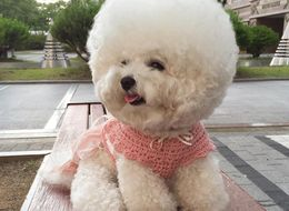 Tori The Bichon Frise Has Better Hair Than All Of Us