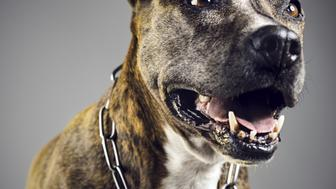 Pit bull dog portrait with open mouth.