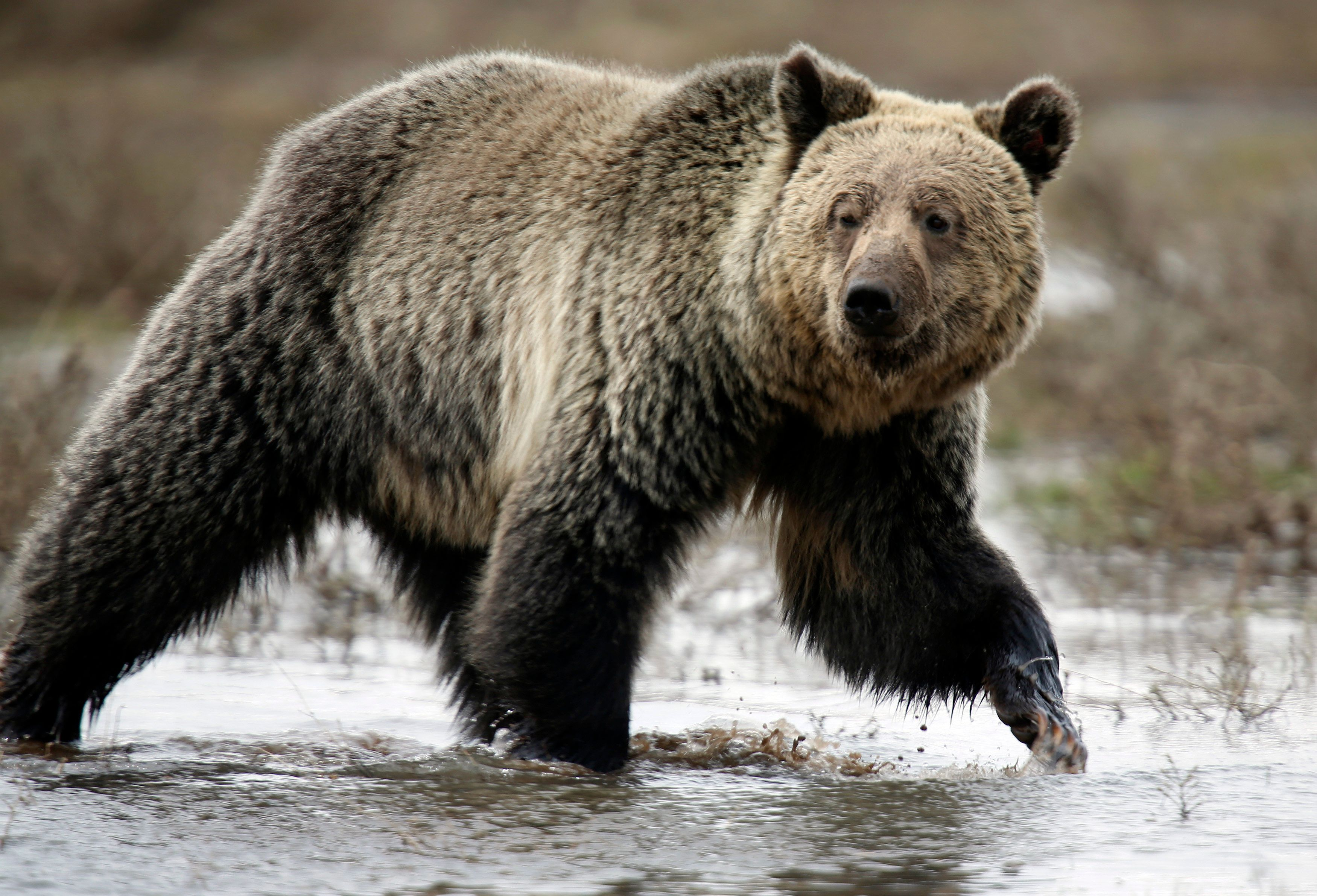 A grizzly bear roams through the Hayden Valley in Yellowstone National Park in Wyoming, May 18, 2014. The nearly 3,500 square mile park straddling the states of Wyoming, Montana and Idaho was founded in 1872 as America's first national park. Picture taken May 18, 2014. REUTERS/Jim Urquhart (UNITED STATES)