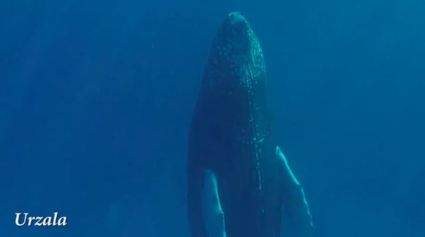 Another view of the sleeping humpback whale.