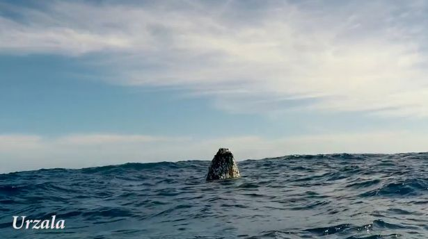 """A humpback whale pops up to the surface. Whales """"breathe"""" through the blowholes on the tops of their heads, so they need to be near the water's surface when they sleep."""