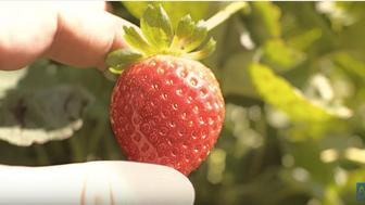 The delicious strawberry is harvested on the farm