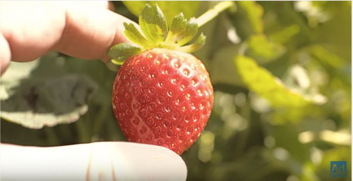 The strawberry's journey begins on a hopeful note as it's harvested, boxed and shipped miles and miles to a supermarket, wher