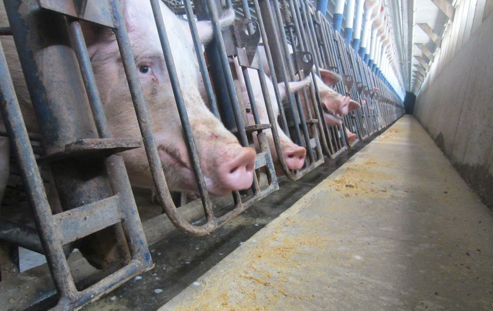 Pigs confined in crates at a farm in Iowa in 2011.
