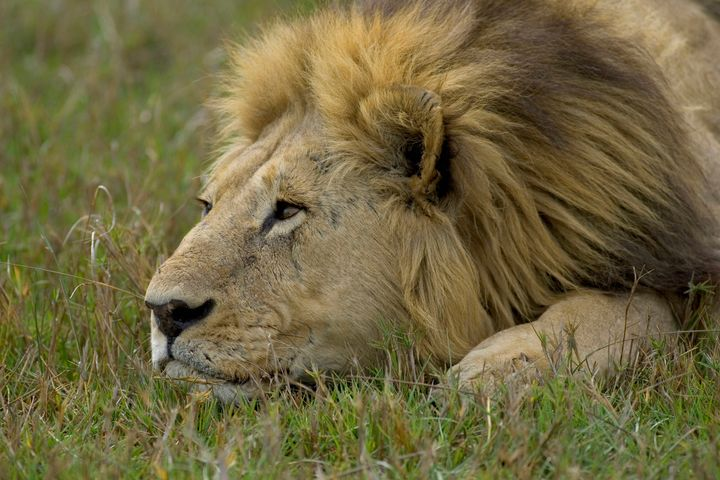 A lion lying in the grass.