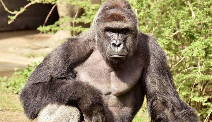 Harambe, the gorilla killed in May at the Cincinnati Zoo.