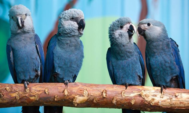 Spix's macaws (from left to right) Felicitas, Frieda, Paula and Paul sit on a branch in their aviary...