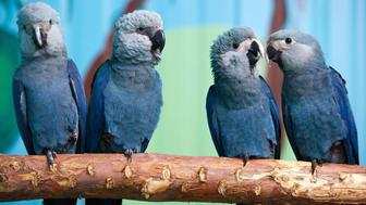 Spix's macaws (L-R) Felicitas, Frieda, Paula and Paul sit on a branch in their aviary at the association for the prrotection of endangered parrots in Schoeneiche, eastern Germany, on October 11, 2011. According to the association, the Spix's macaw is the rarest parrot species in the world. In the wild, the parrots are extinct since the year 2000, but they are conserved in breeding programs.     AFP PHOTO    PATRICK PLEUL     GERMANY OUT (Photo credit should read PATRICK PLEUL/AFP/Getty Images)