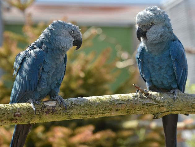 Spix's macaw couple Bonita and Ferdinand are pictured on April 17, 2014 at the ACTP wildlife conservation...