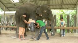 Elephant Who Lost Leg To Land Mine Gets Life-Saving Prosthetic