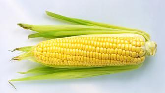 Single cob of corn in husk