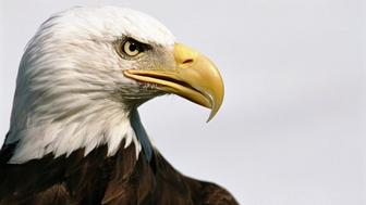 Bald eagle (Haliaeetus leucocephalus), close-up, side view