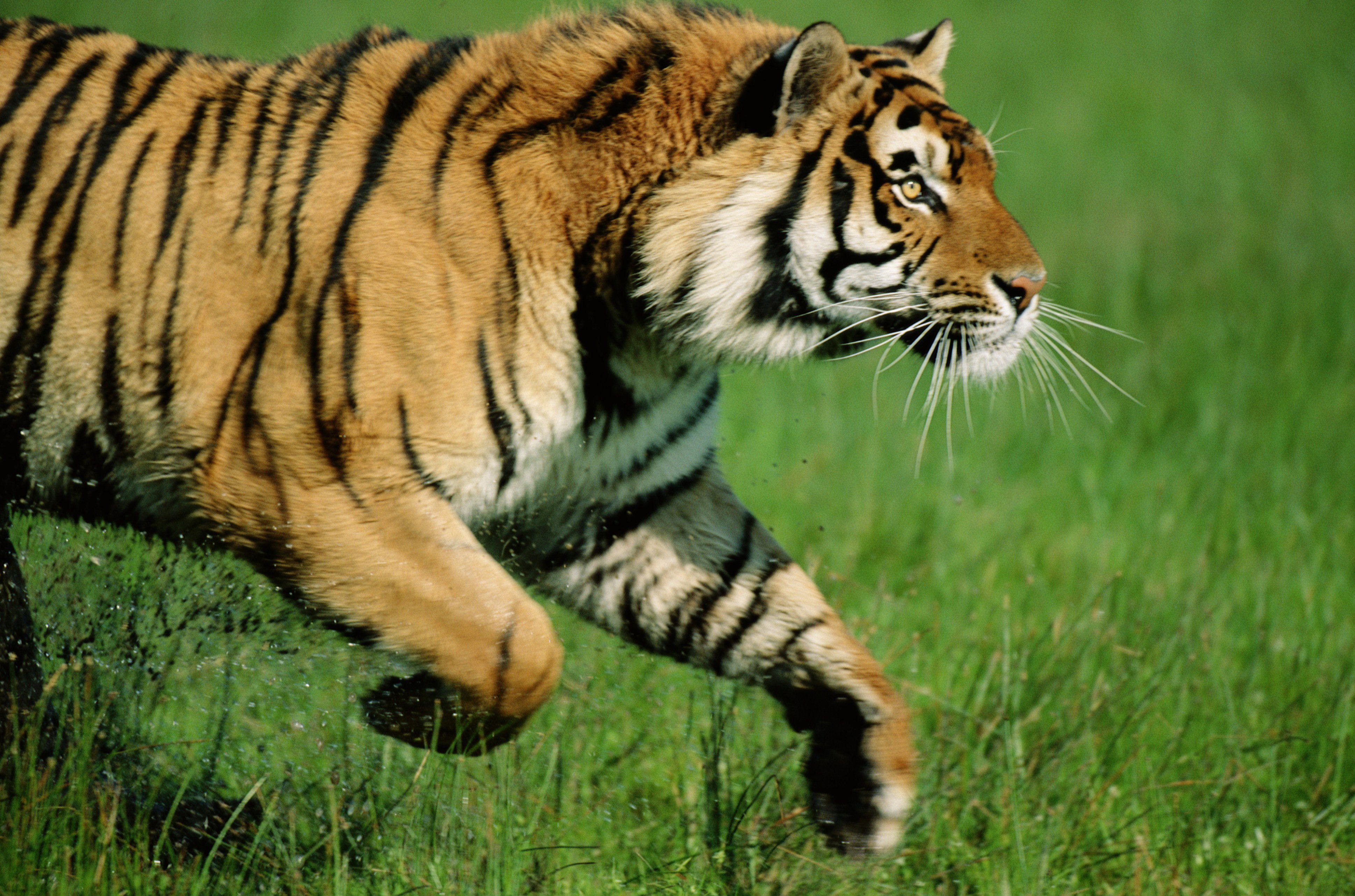 A tiger, not pictured, reportedly attacked and killed a zookeeper at the Terra Natura animal park in...