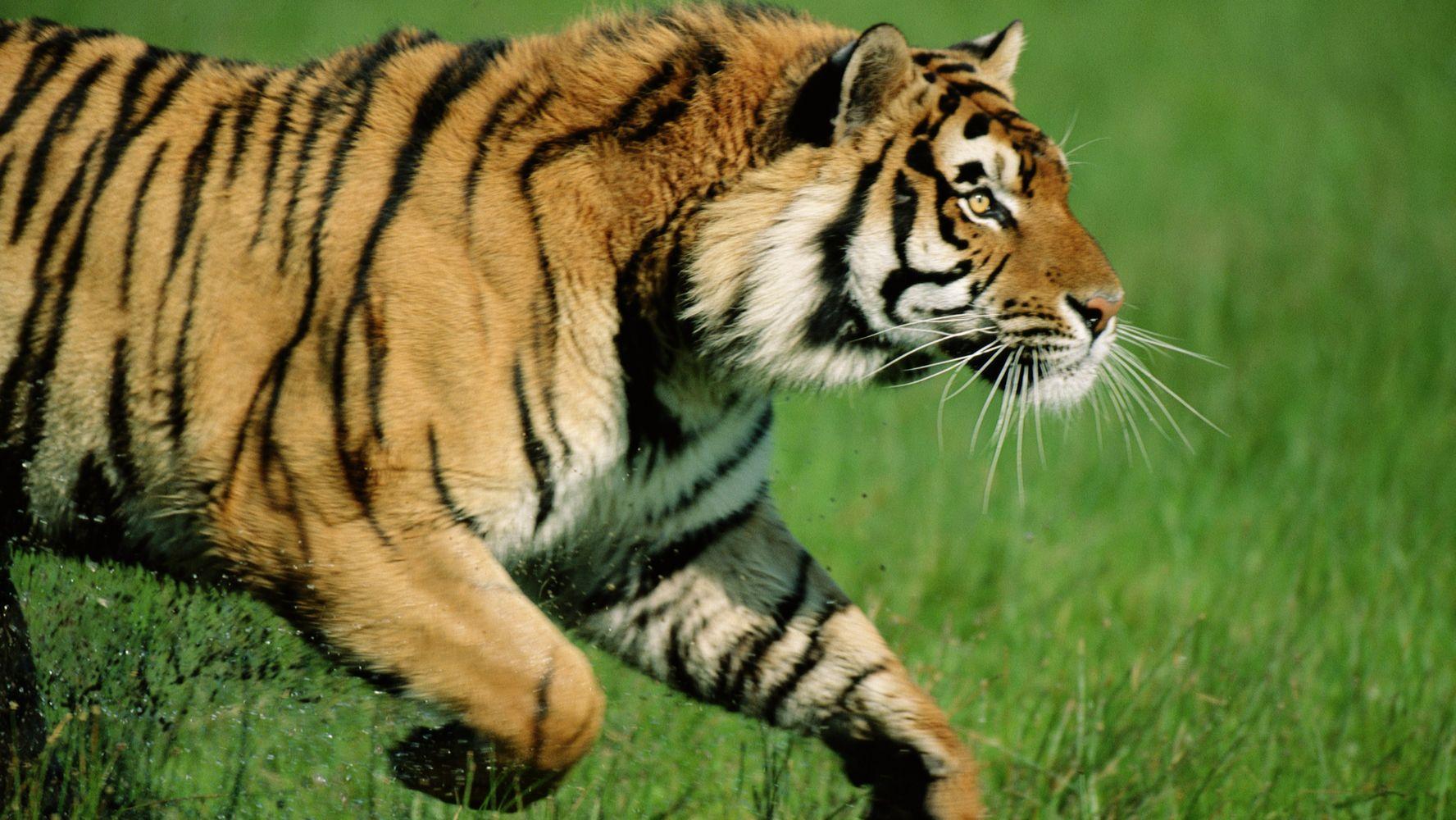 Картинки тигров когда они нападают