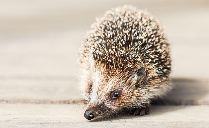 The Suffolk Wildlife Trust is searching for someone to become a hedgehog champion for town of Ipswich in eastern England.
