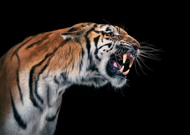 The tiger was tranquilised after the attack (file