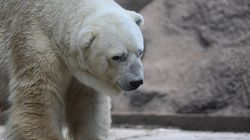 Arturo, World's Saddest Polar Bear, Dies After Decades In