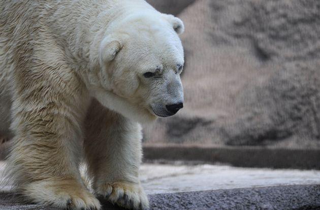 Arturo seen in his enclosure at the Mendoza Zoo in