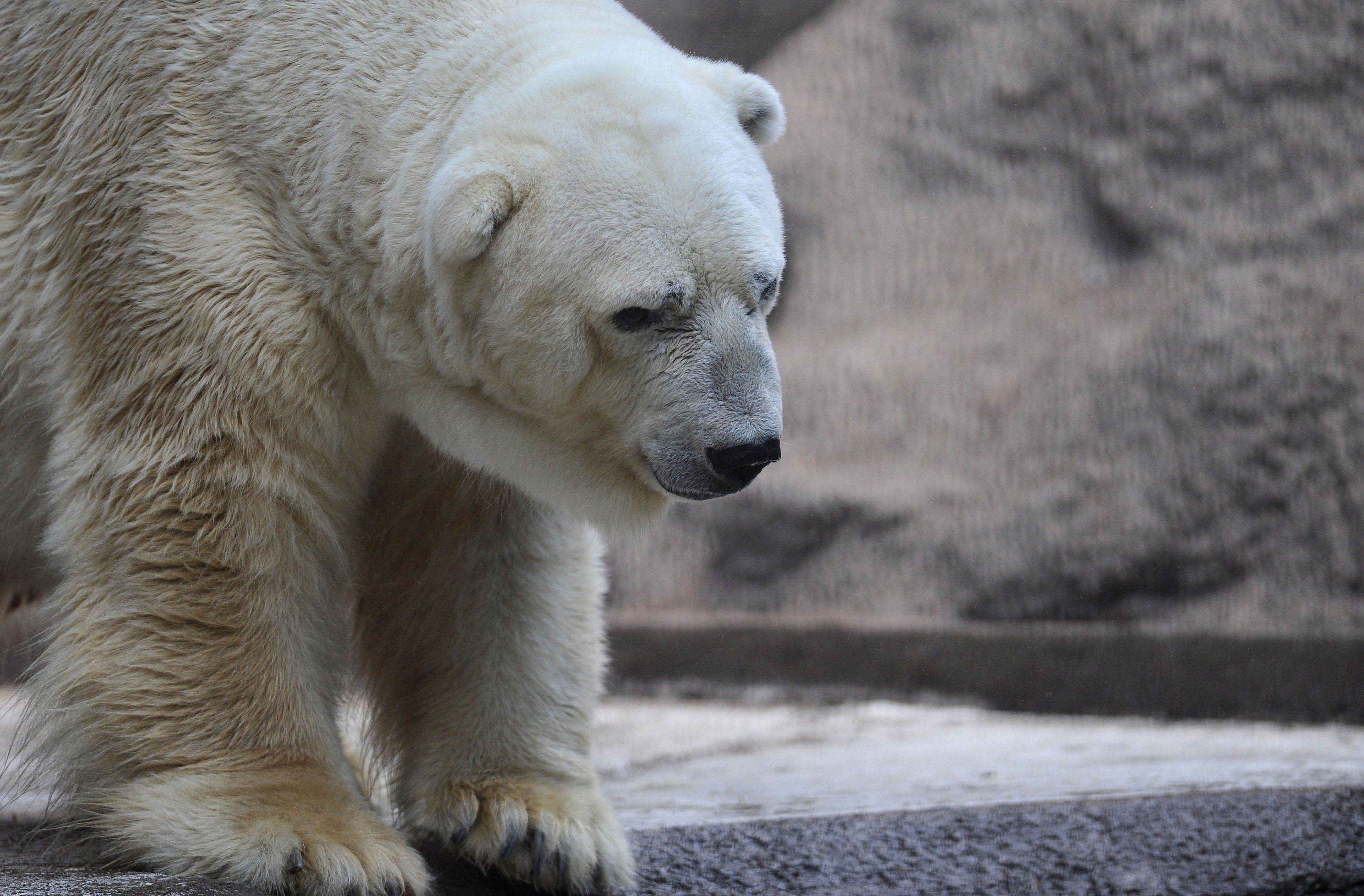 Arturo seen in his enclosure at the Mendoza Zoo in Argentina.