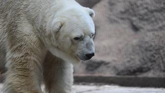 Arturo, the only polar bear in Argentina, living in captivity at a zoo in Mendoza, 1050 km west of Buenos Aires, is pictured at his enclosure on February 5, 2014. Specialists and activists are lobbying to transfer old Arturo to a zoo in Canada to spare him from the Argentine heat.  AFP PHOTO / Andres LARROVERE        (Photo credit should read ANDRES LARROVERE/AFP/Getty Images)
